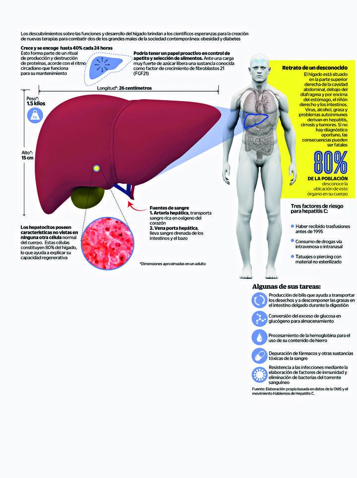 El hígado, subestimada máquina de trabajo