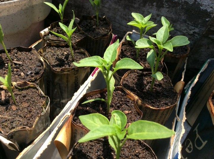 Tecnifican el cultivo de chile for Planta de chile
