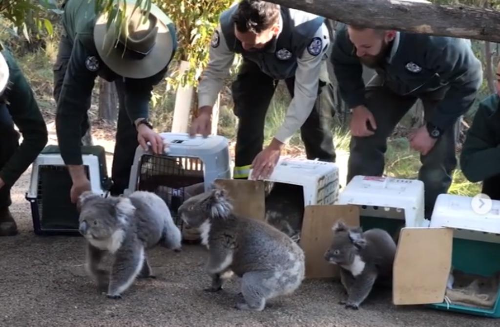 Koalas son devueltos a su hábitat tras los devastadores incendios en Australia