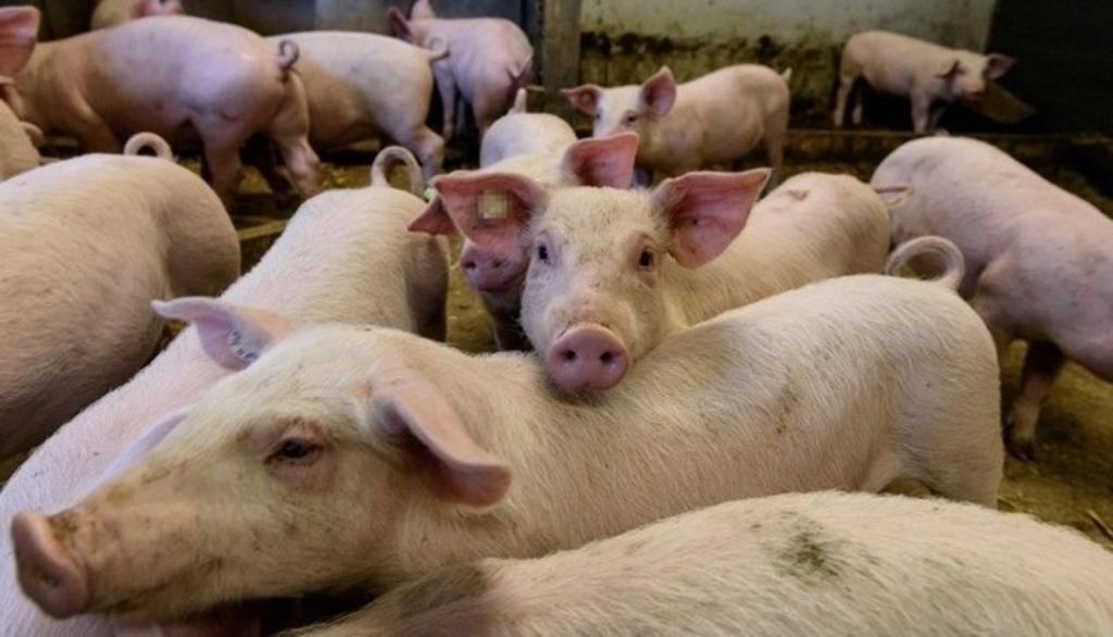 Alertan por nueva gripe porcina en Brasil que podría convertirse en pandemia
