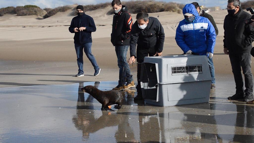 Regresan al mar a elefante y lobos marinos tras ser rehabilitados en Argentina