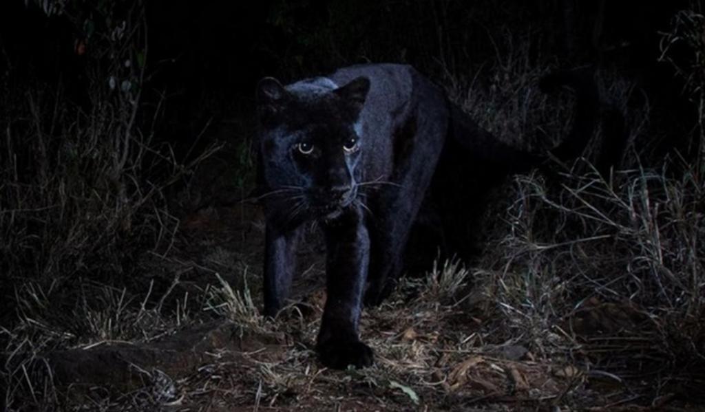 Captan leopardo negro 'extremadamente raro de ver' en un safari