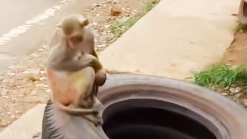 Mono carga con el cadáver de su bebé por varios días