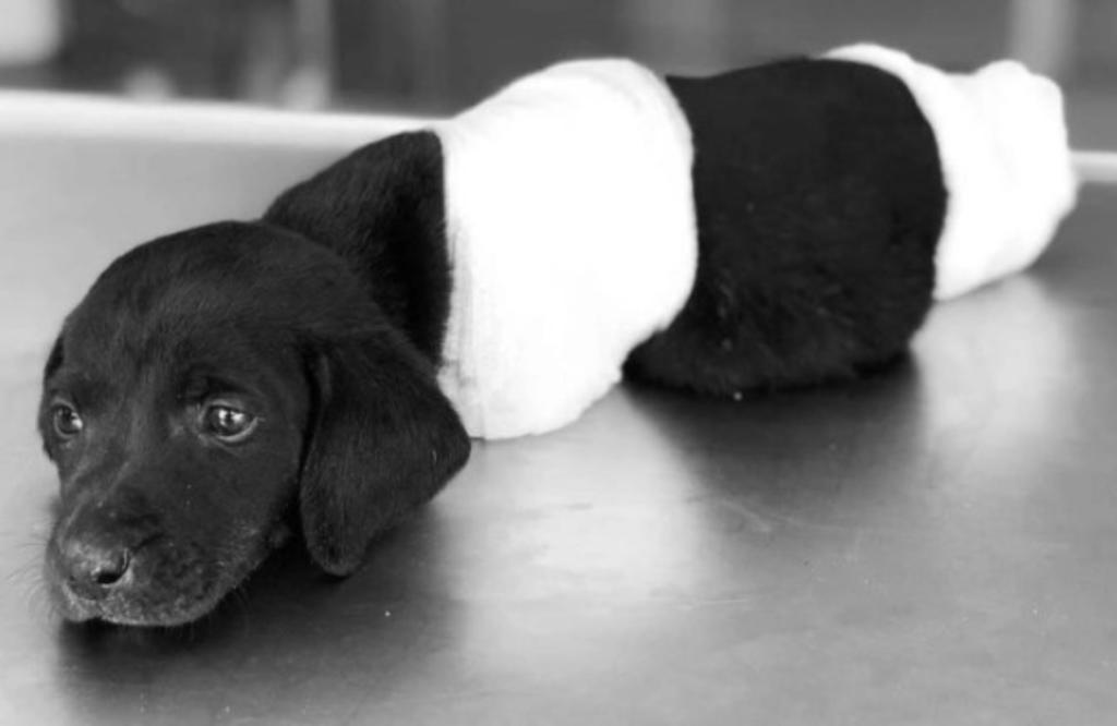Resurge caso de cachorro Labrador encontrado con patitas y cola mutilada