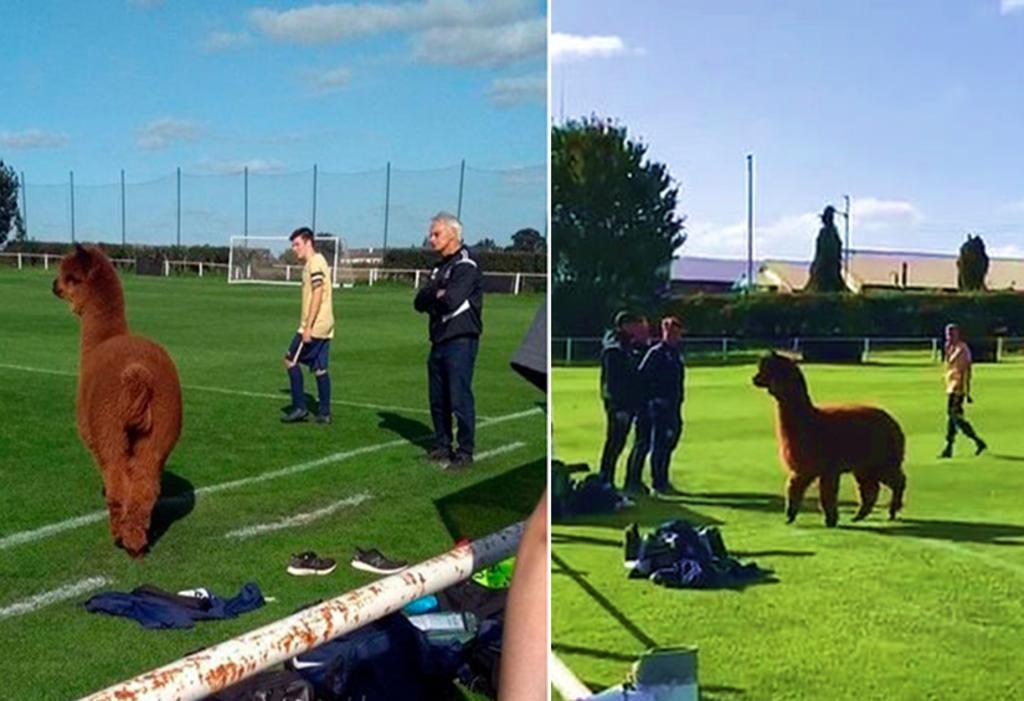Alpaca interrumpe partido de futbol en Reino Unido