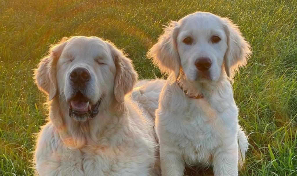 Cachorro se convierte en el guía de otro perro que padece ceguera