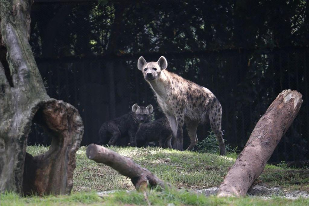 Desentraña estudio compleja relación entre leones y hienas en la naturaleza