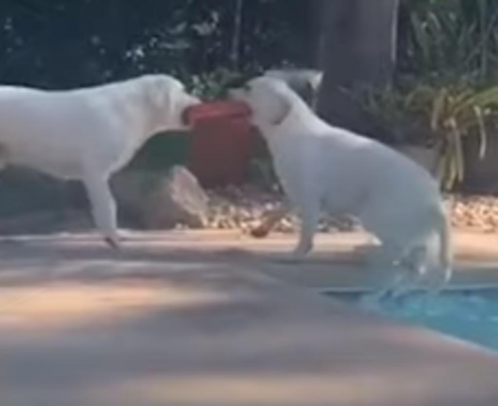 Perro rescata a su hermana de una alberca utilizando uno de sus juguetes