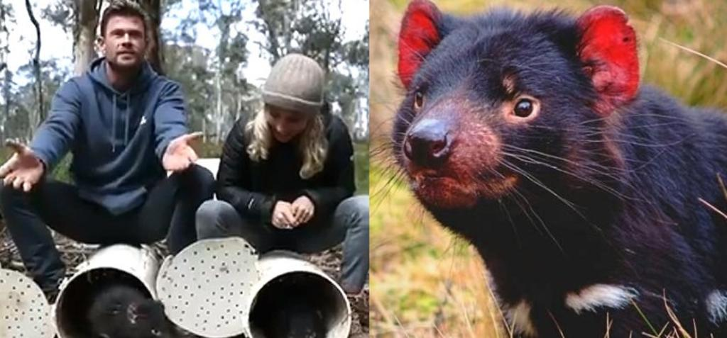 Chris Hemsworth ayuda a demonios de Tasmania a regresar a Australia continental