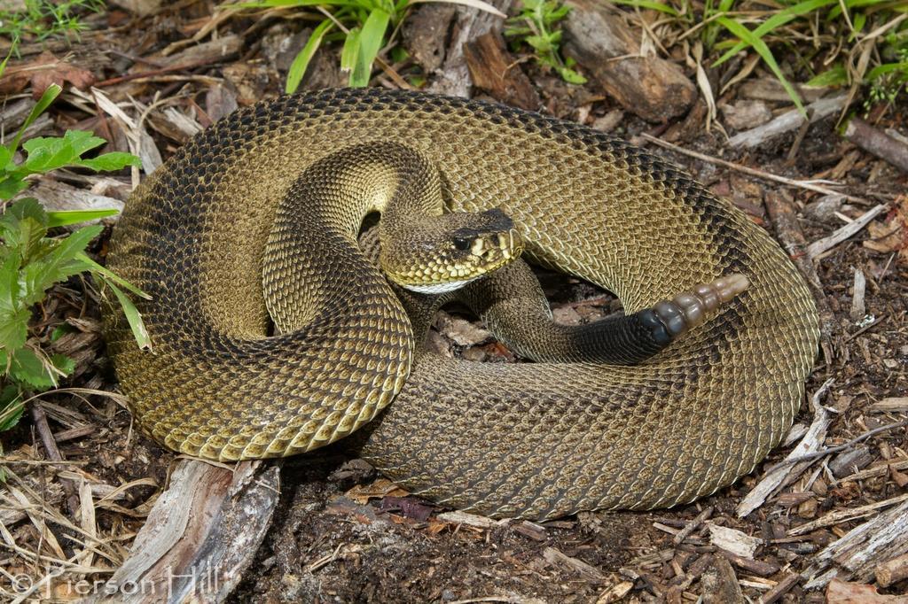 Mutación genética de una serpiente revela origen del color de la piel