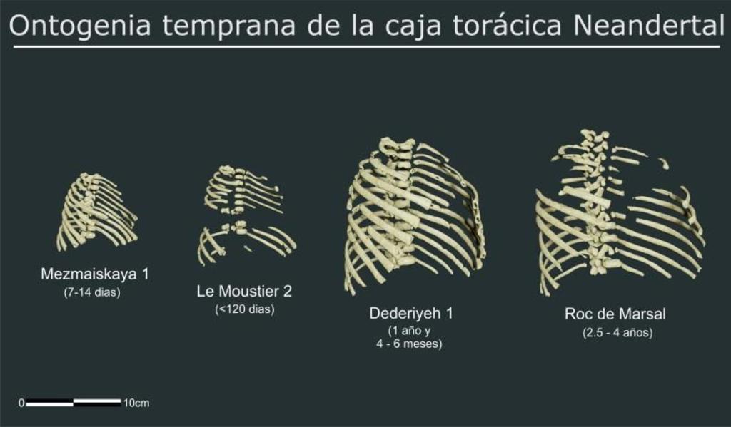 Escudriñan con teconología 3D el tórax de los neandertales
