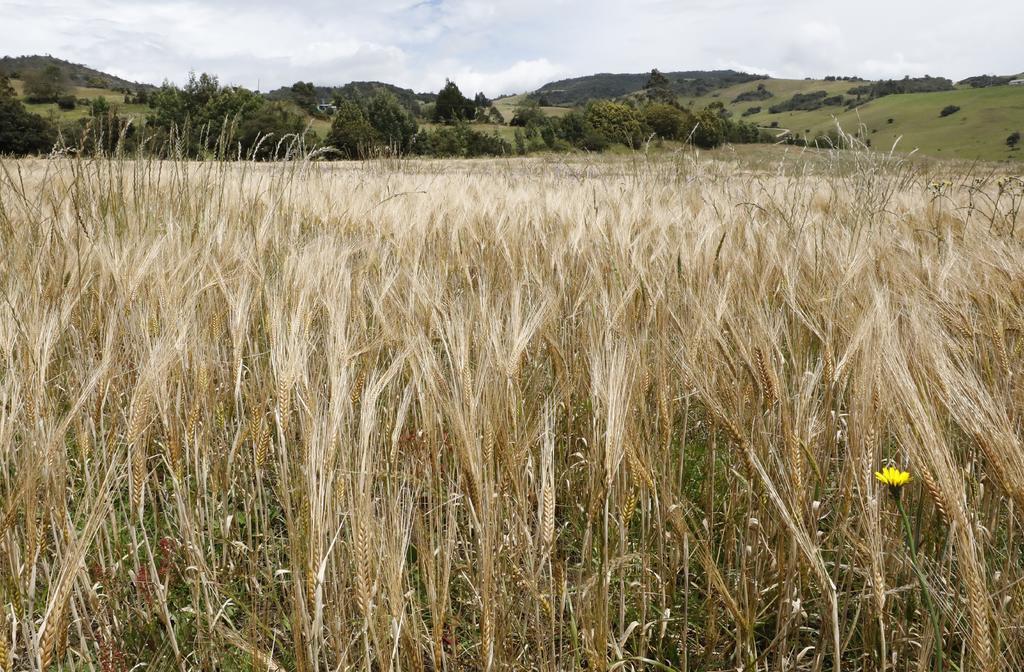 Aprueba Argentina un pionero trigo transgénico resistente a la sequía