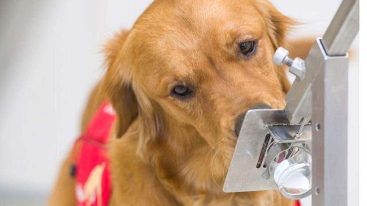 Preparan perros para detectar Covid