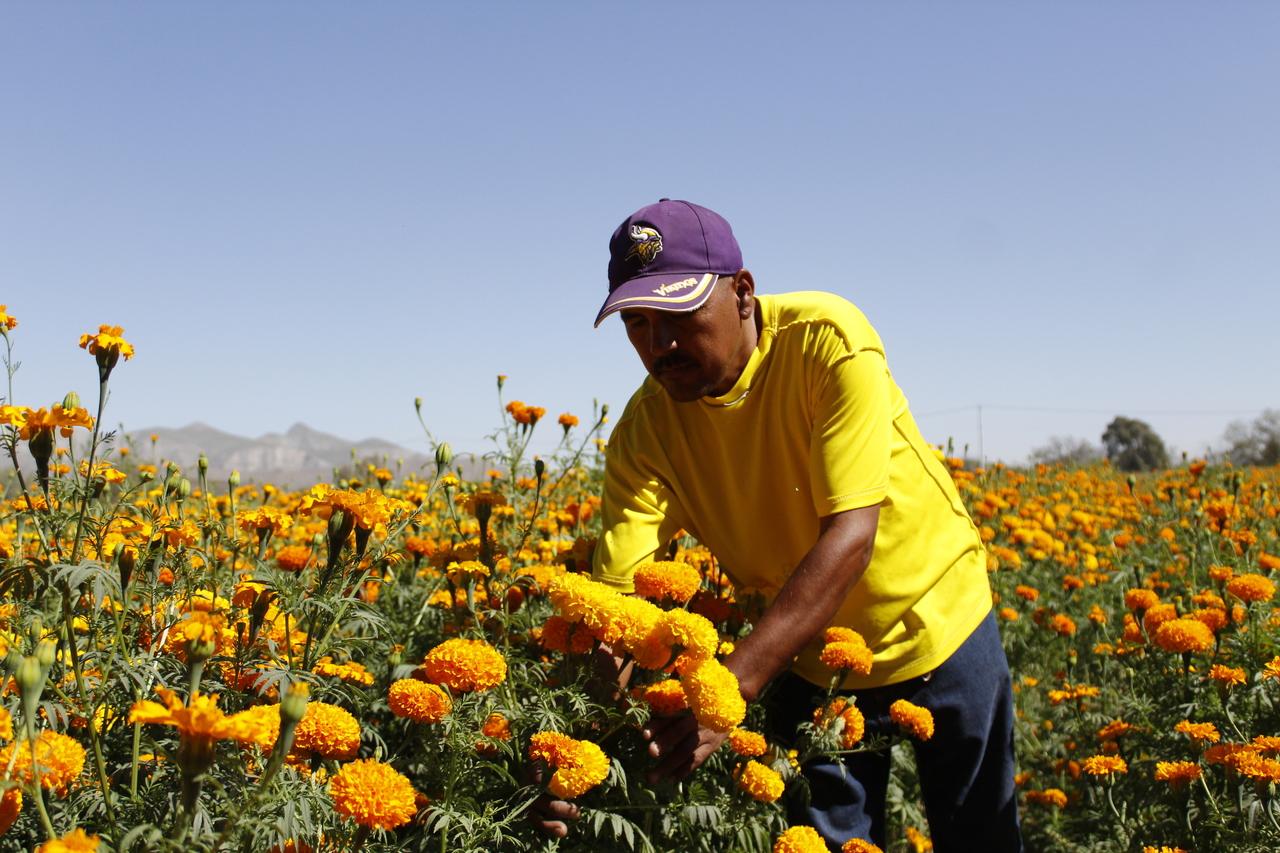 La flor de cempasúchil ante la pandemia