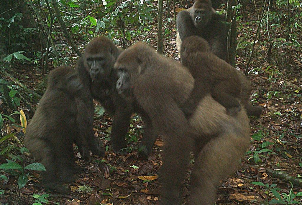 Gorilas, animales sociables pero que se pelean entre ellos