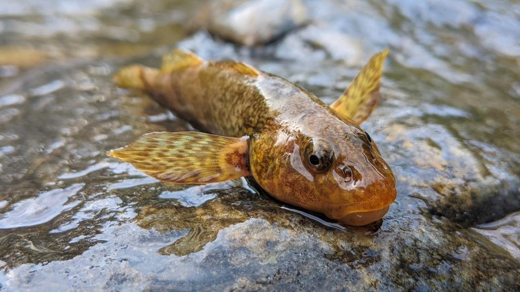 Operación 'Salvar al asprete', el pez rumano que vivió con los dinosaurios