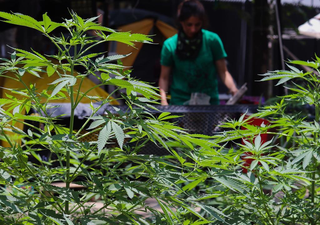 Despenalización de la marihuana permitirá su uso textil: CNA