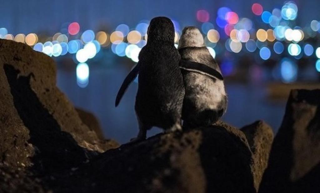 La conmovedora fotografía de dos pingüinos ruidos consolándose gana premio