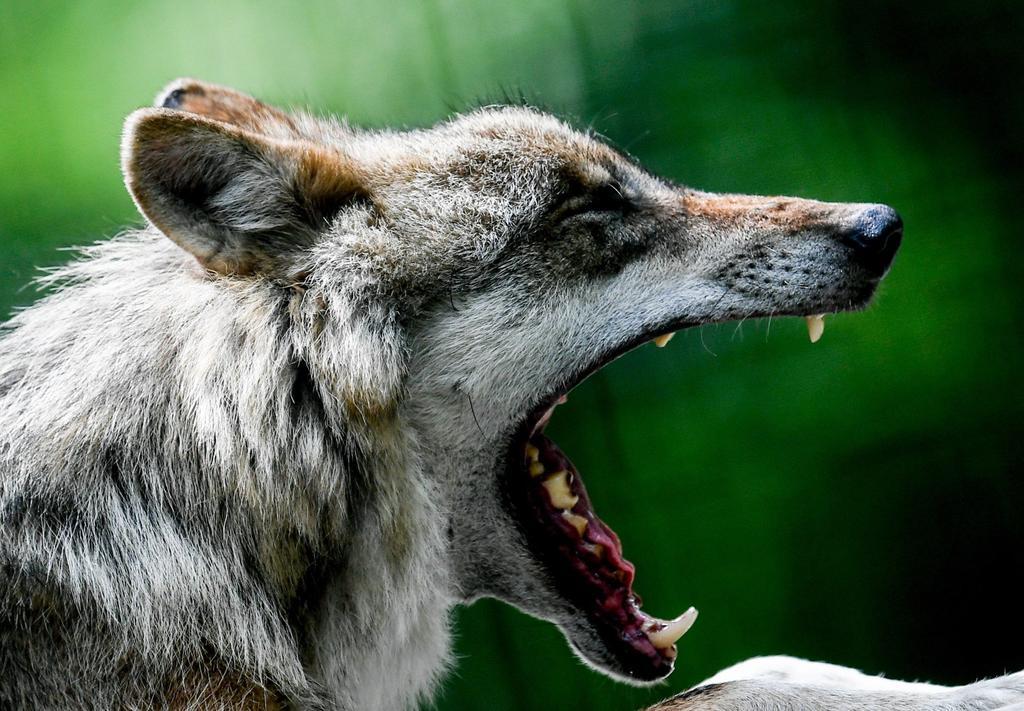 Humanos que alimentaban lobos pudieron ayudar a domesticación de perros