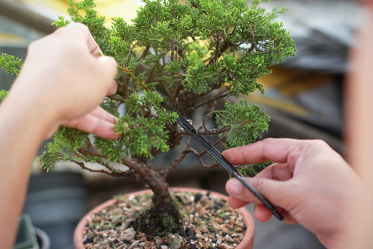 Razones para tener un bonsái