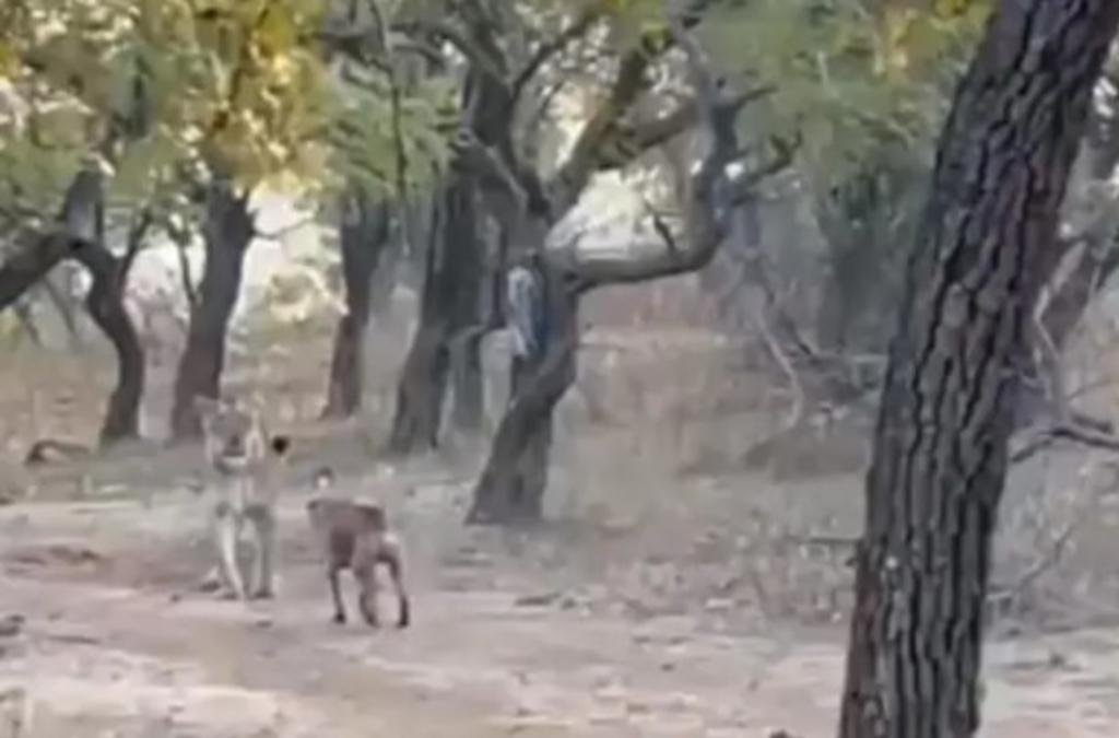 Perrito callejero enfrenta a leona y se le impone