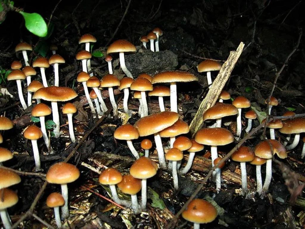 Se inyecta una infusión de hongos alucinógenos y comienzan a crecerle en el cuerpo