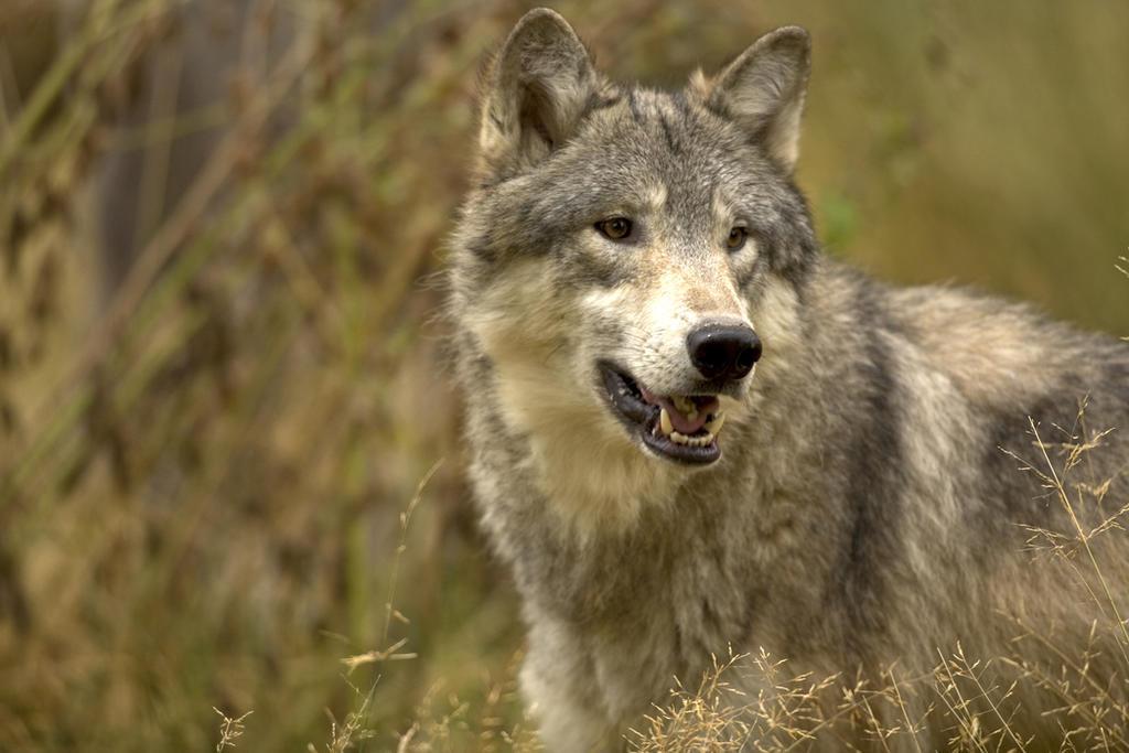 Lobo gigante y el actual compartieron antepasado hace 5.7 millones de años
