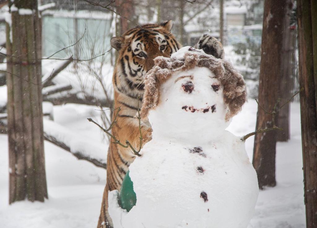 Tigre ataca a muñeco de nieve en zoológico de Finlandia