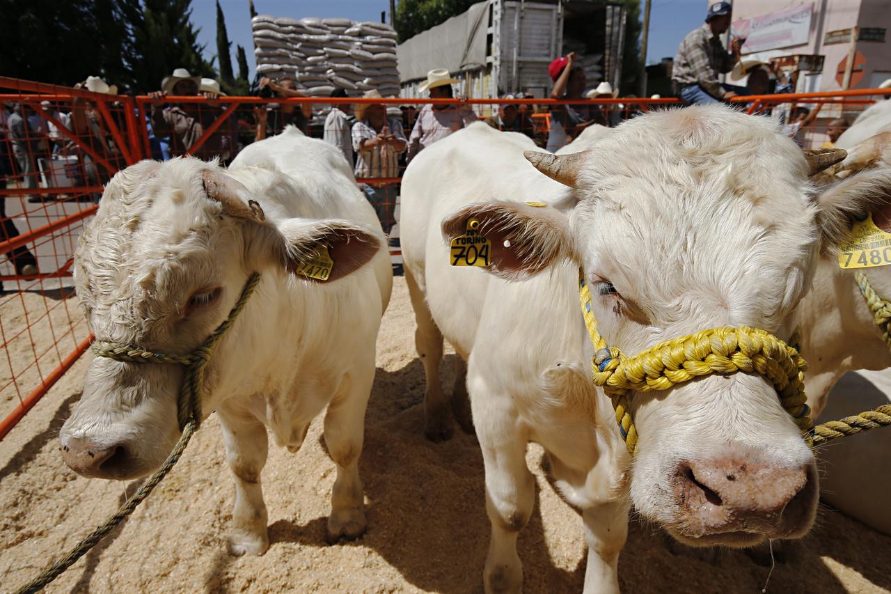 Inicia programa de mejoramiento para ganado