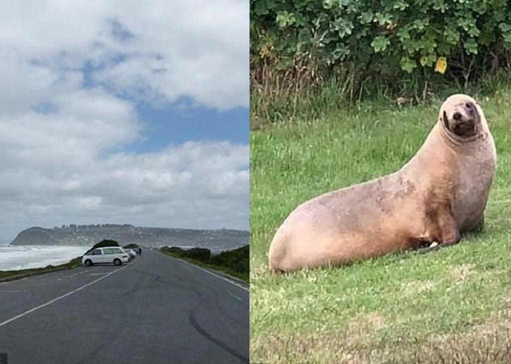 Cierran una calle todo un mes para que león marino pueda cuidar a su cría