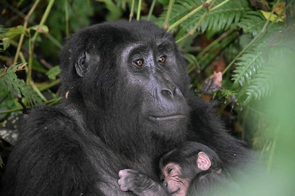 Advierten que turistas que visitan a gorilas de montaña deberían usar tapabocas
