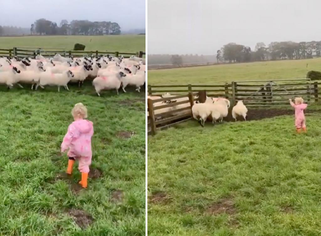 Niña se pone a pastorear ovejas y encanta en la red