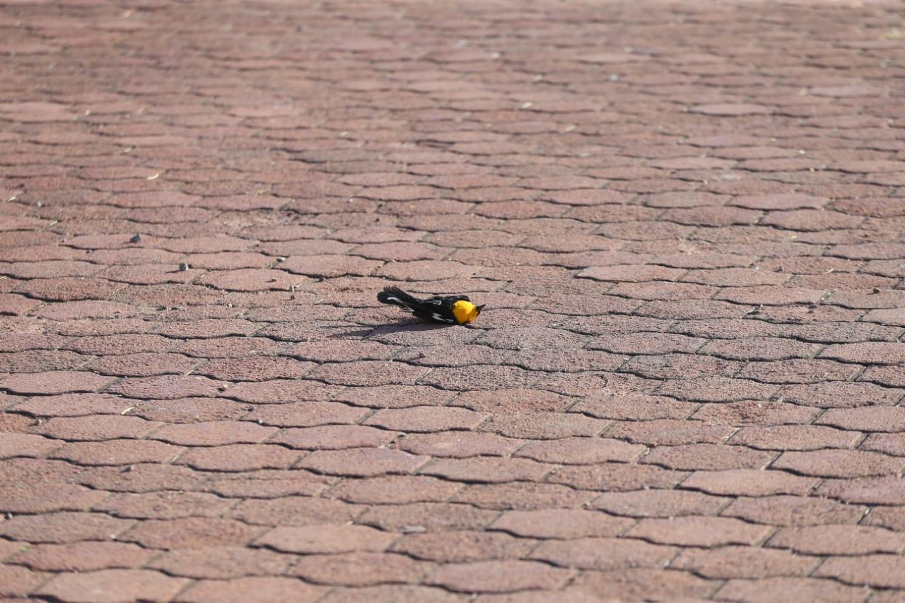 Amanecen decenas de pájaros muertos en bulevar Francisco Villa