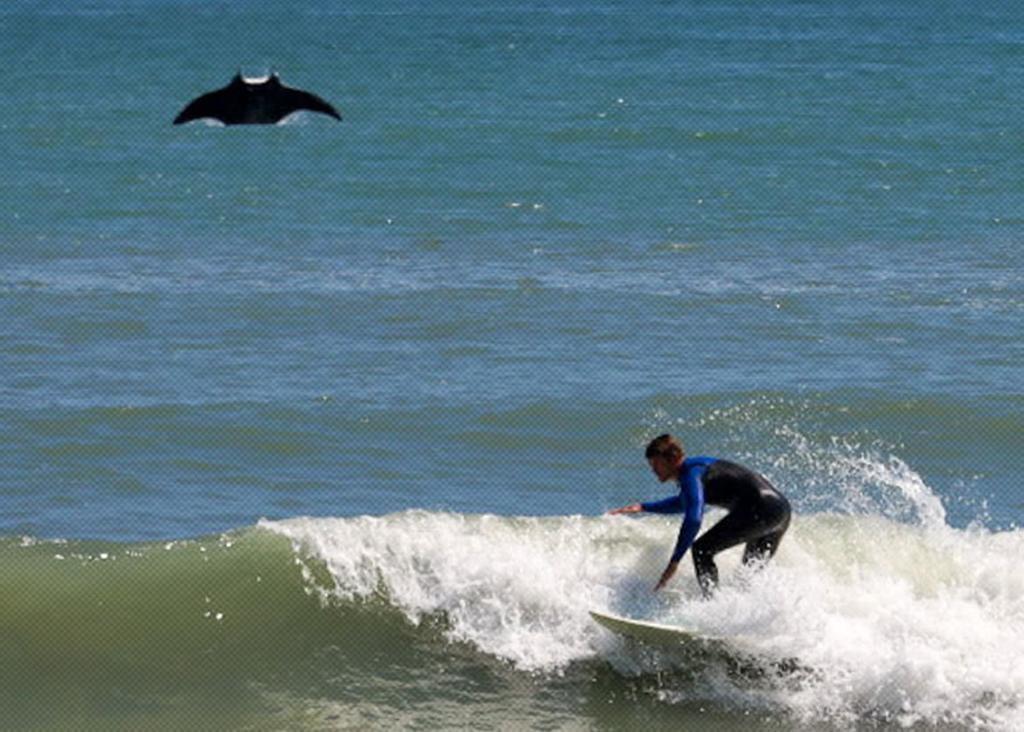Mantarraya sorprende a surfista y la imagen se hace viral