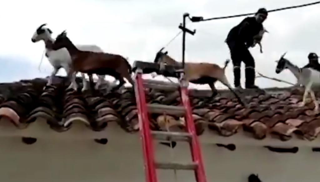 Rebaño de cabras se pasea por el tejado de una casa en Colombia