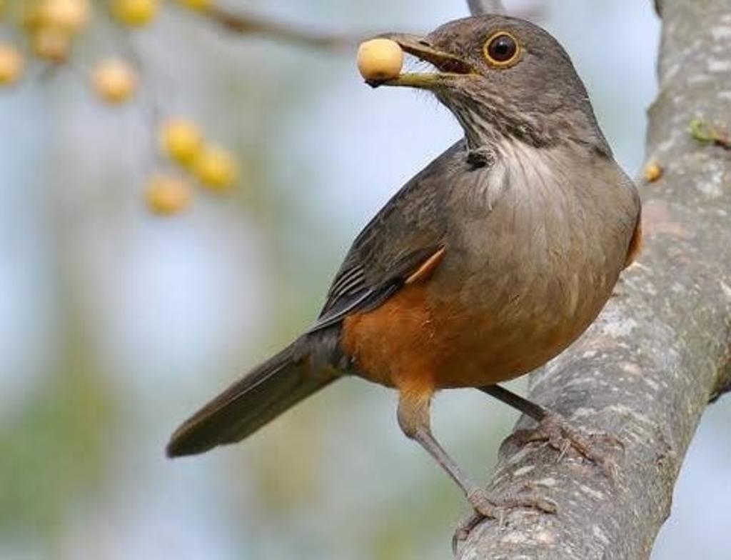 Aves canoras pierden su canto y no encuentran pareja