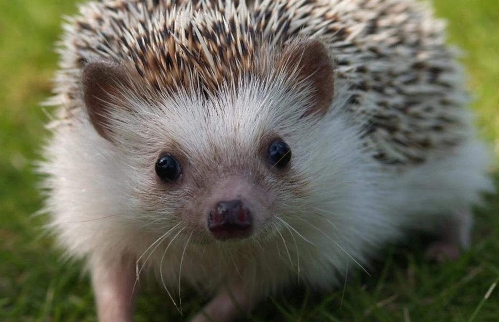 Zoológico japonés remplaza a erizo con un cepillo
