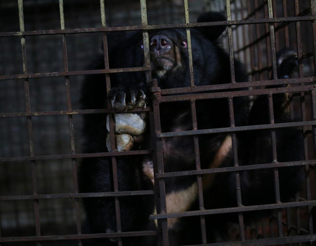 Rescatan a dos osos que vivieron 17 años encerrados en un sótano
