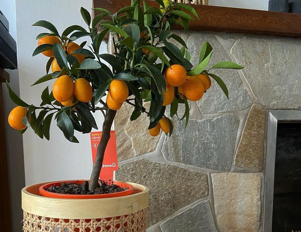 Conoce los árboles frutales que puedes tener en maceta