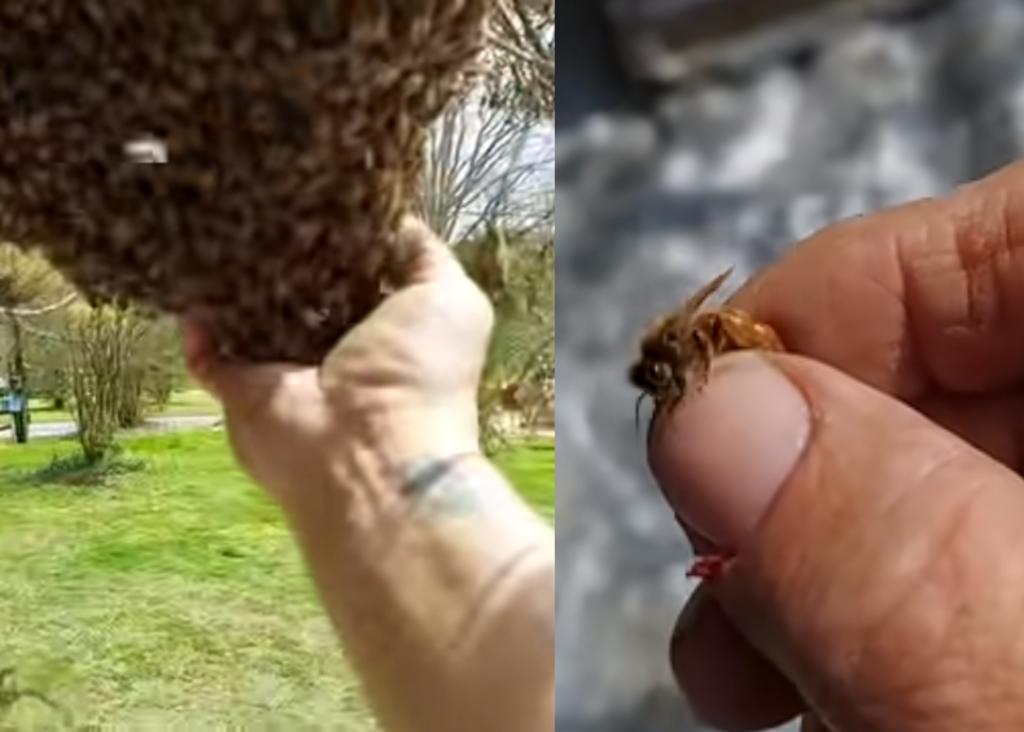 Apicultor mueve enjambre de abejas llevándose a la reina con la mano