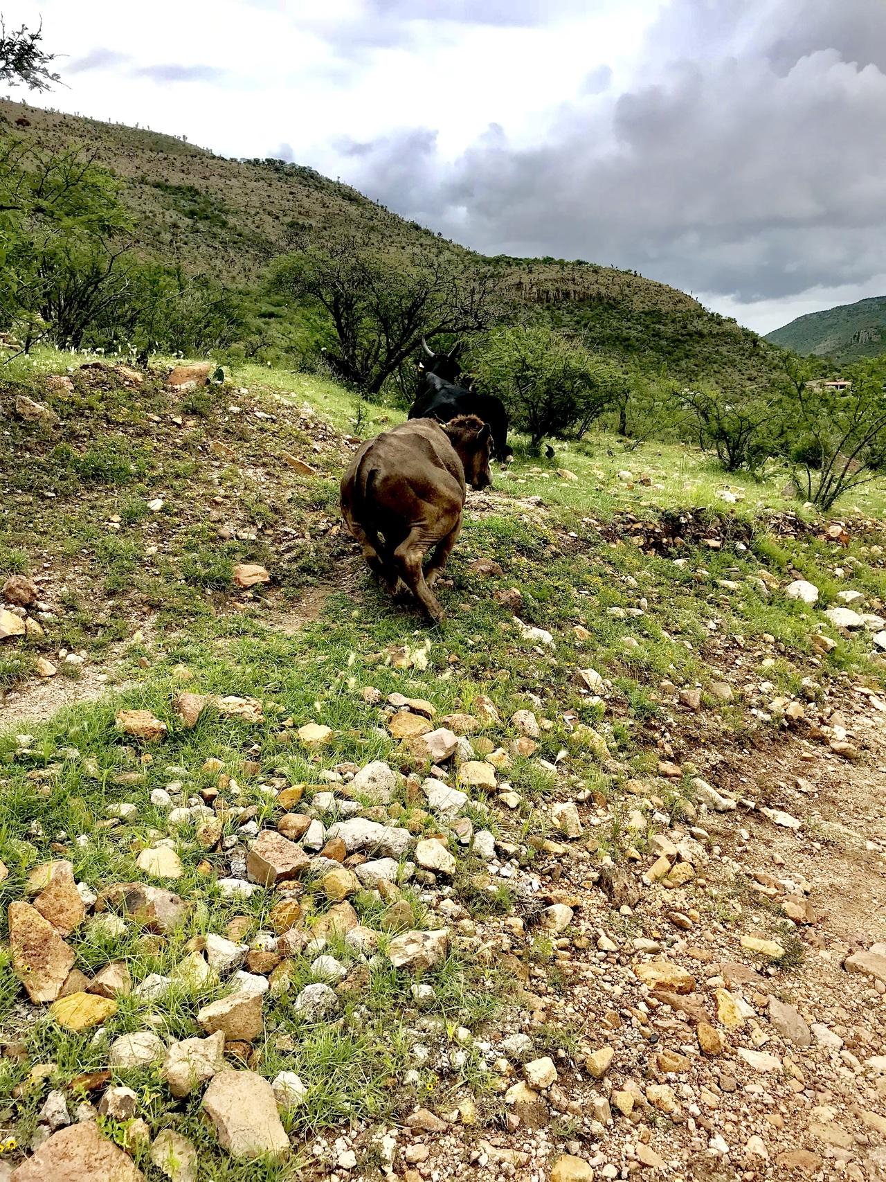 La sequía ya causa muerte de ganado en Durango