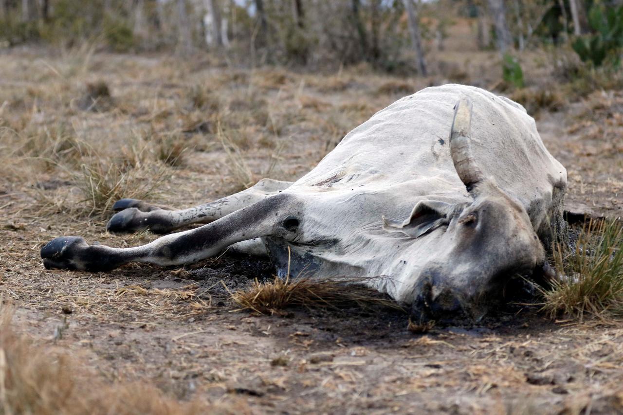 Sequía provoca muerte de ganado