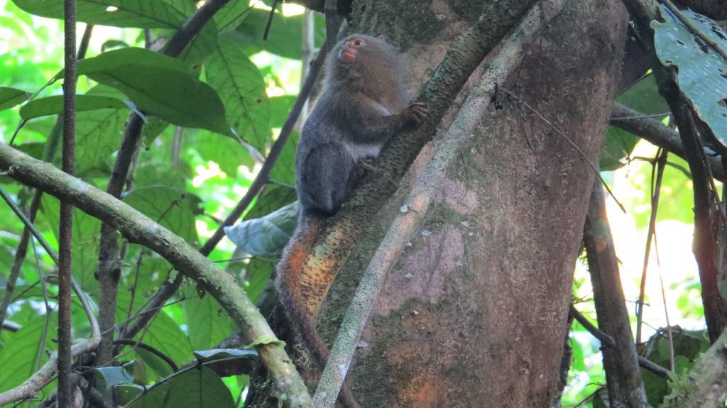 Descubren nueva especie del primate más pequeño del mundo en Ecuador