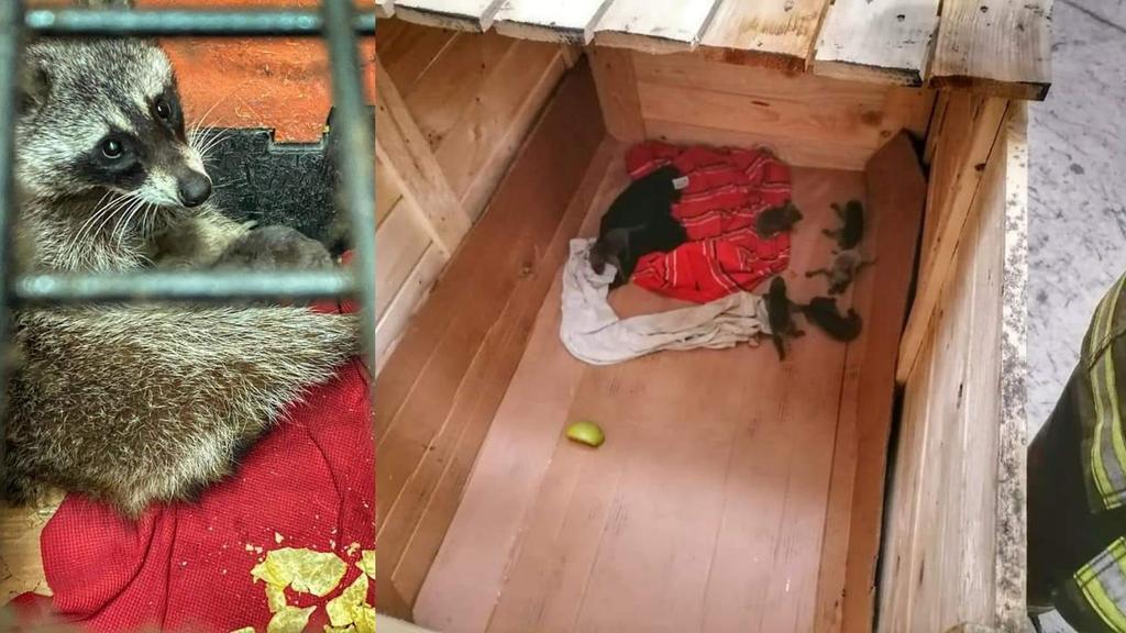 Capturan a mapache y sus crías dentro de empresa en Gómez Palacio