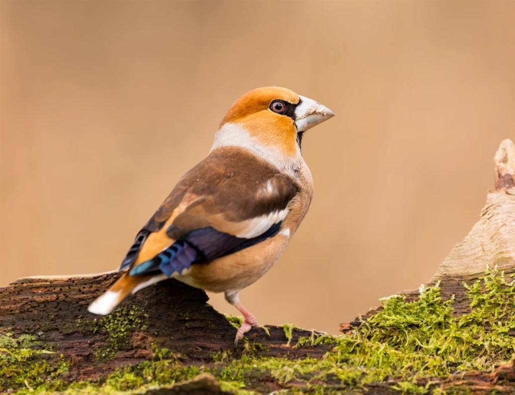 Funcionarios italianos son investigados por comer ilegalmente pájaros cantores