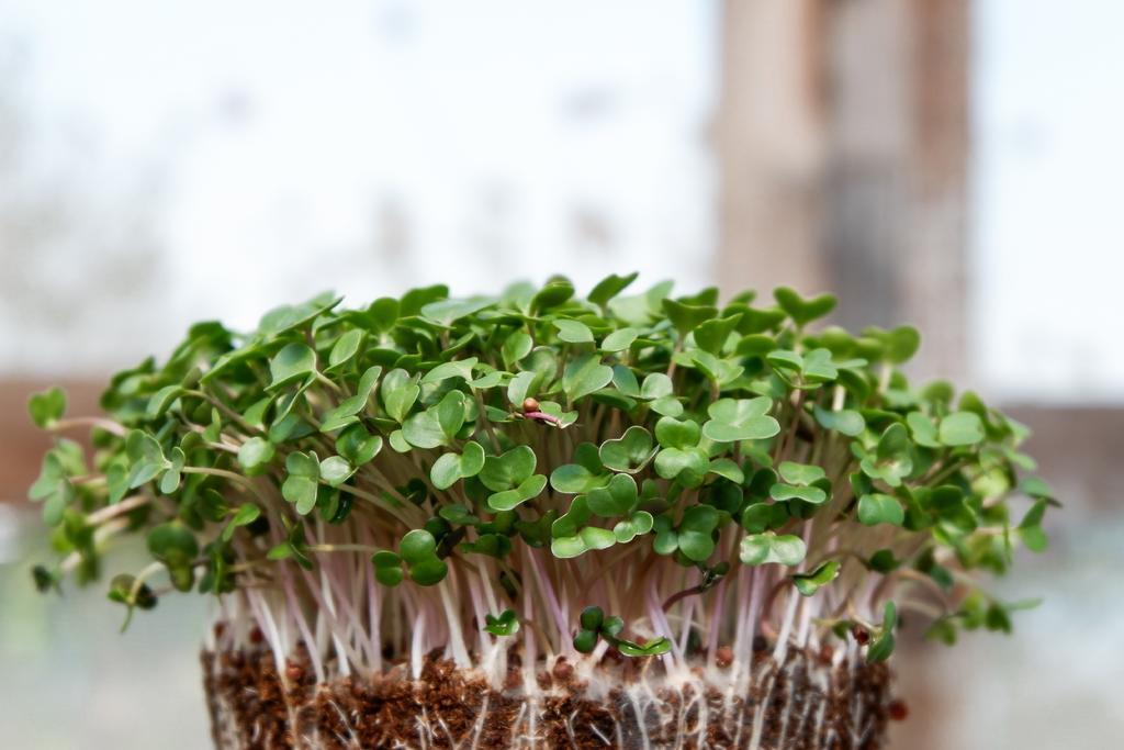 Mini greens, los más usados en platillos de cocina gourmet