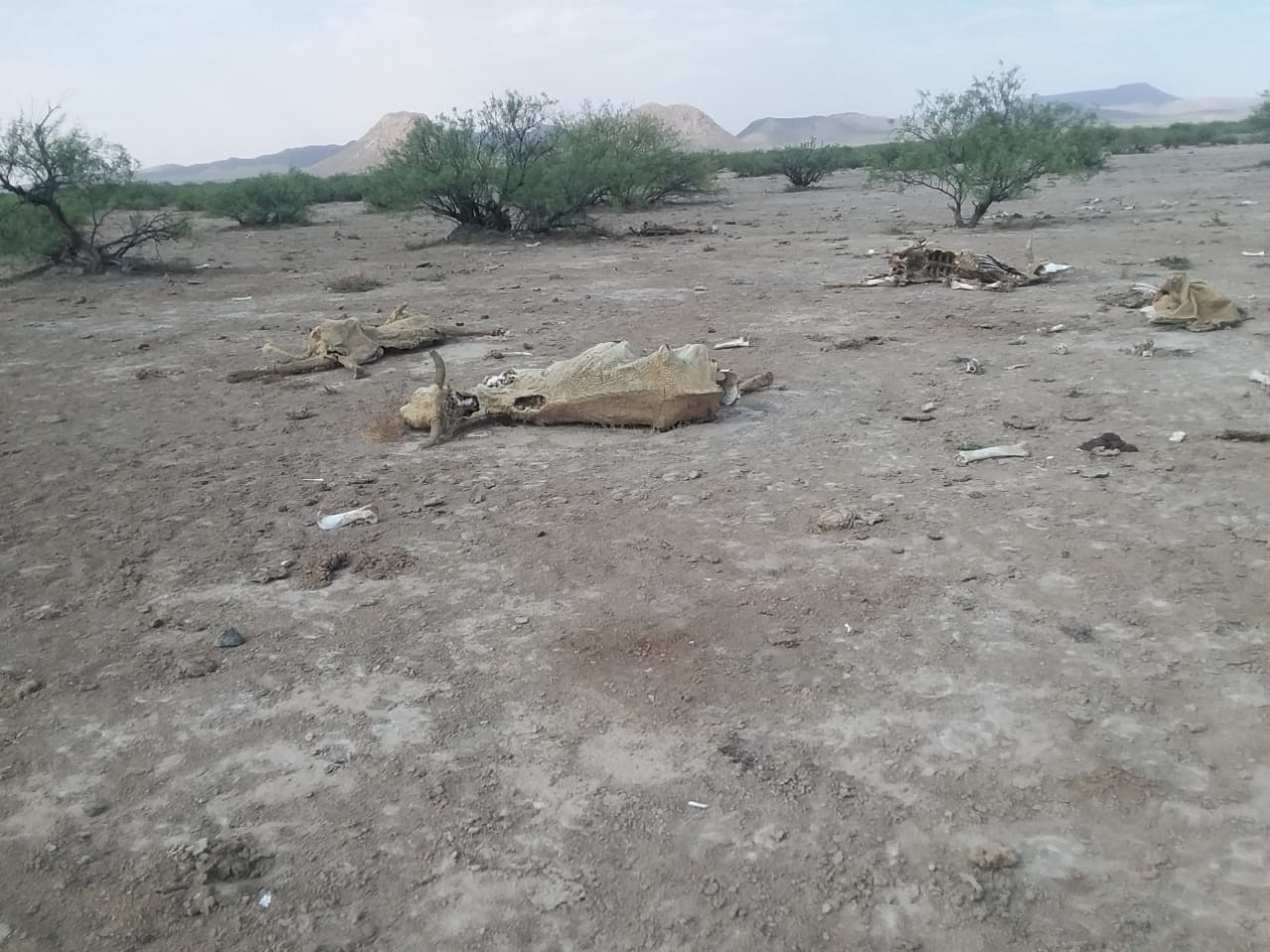 Viene lo peor de la sequía para el sector ganadero de Durango