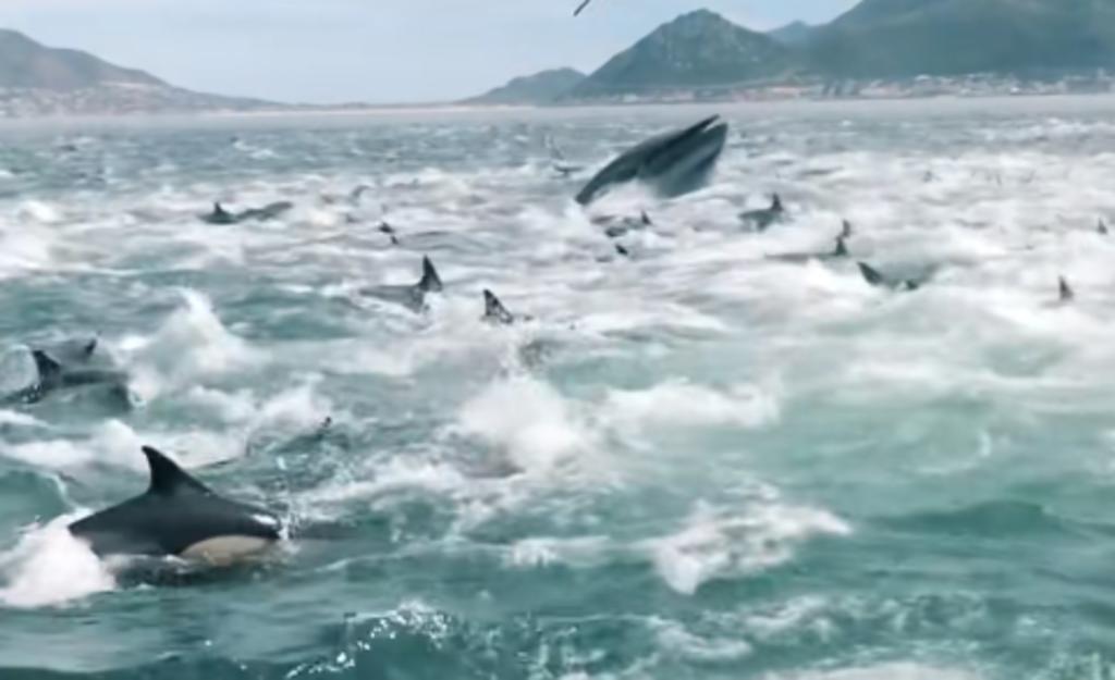 Cientos de delfines y tres ballenas sorprenden a pescadores al comer cerca de ellos
