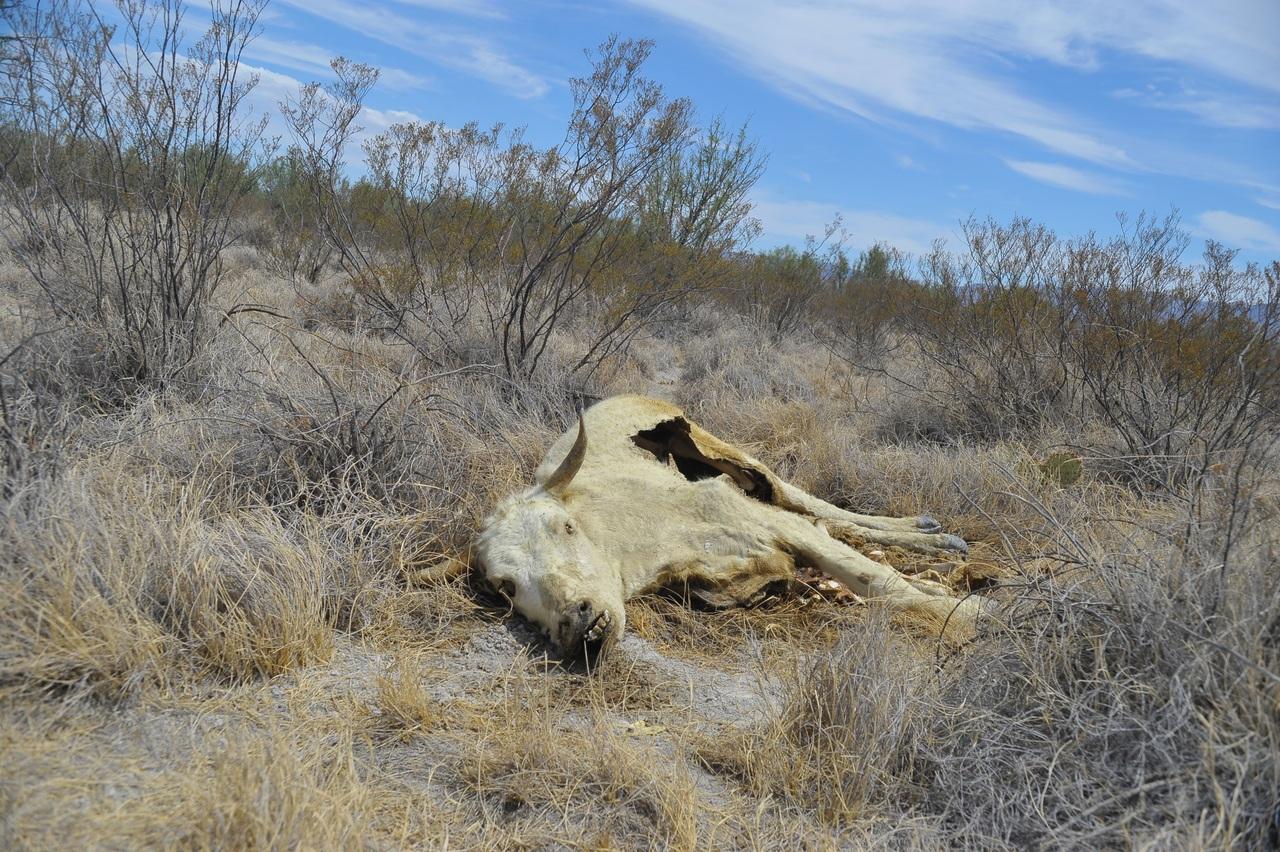 Ganaderos de Durango reportan pérdidas de 245 mdp