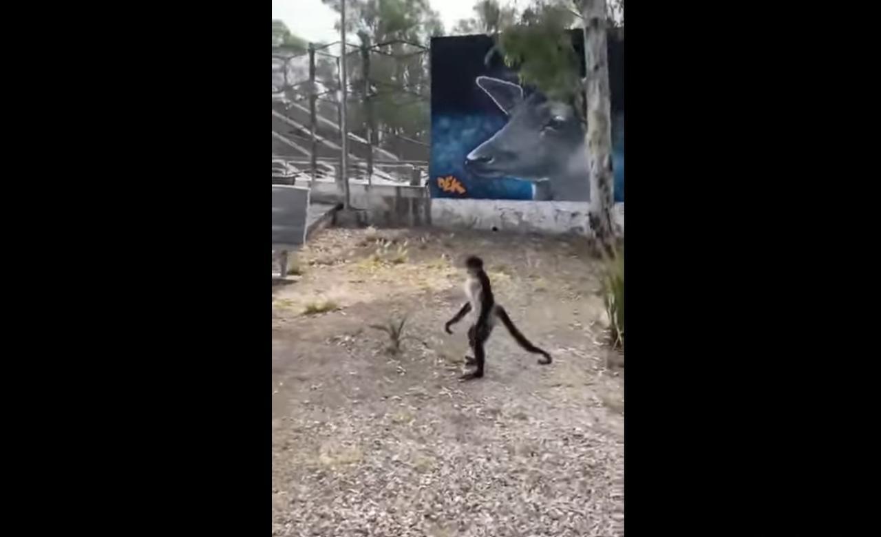 VIDEO: Escapa mono del Zoológico Sahuatoba; mujer lo graba al exterior